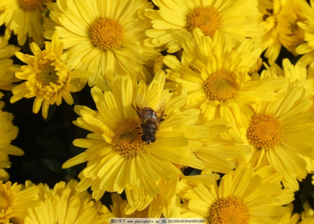 花丛中蜜蜂图片