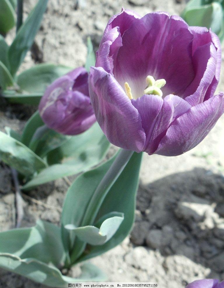 郁金香 紫花 紫色 植物 花草 生物世界 摄影