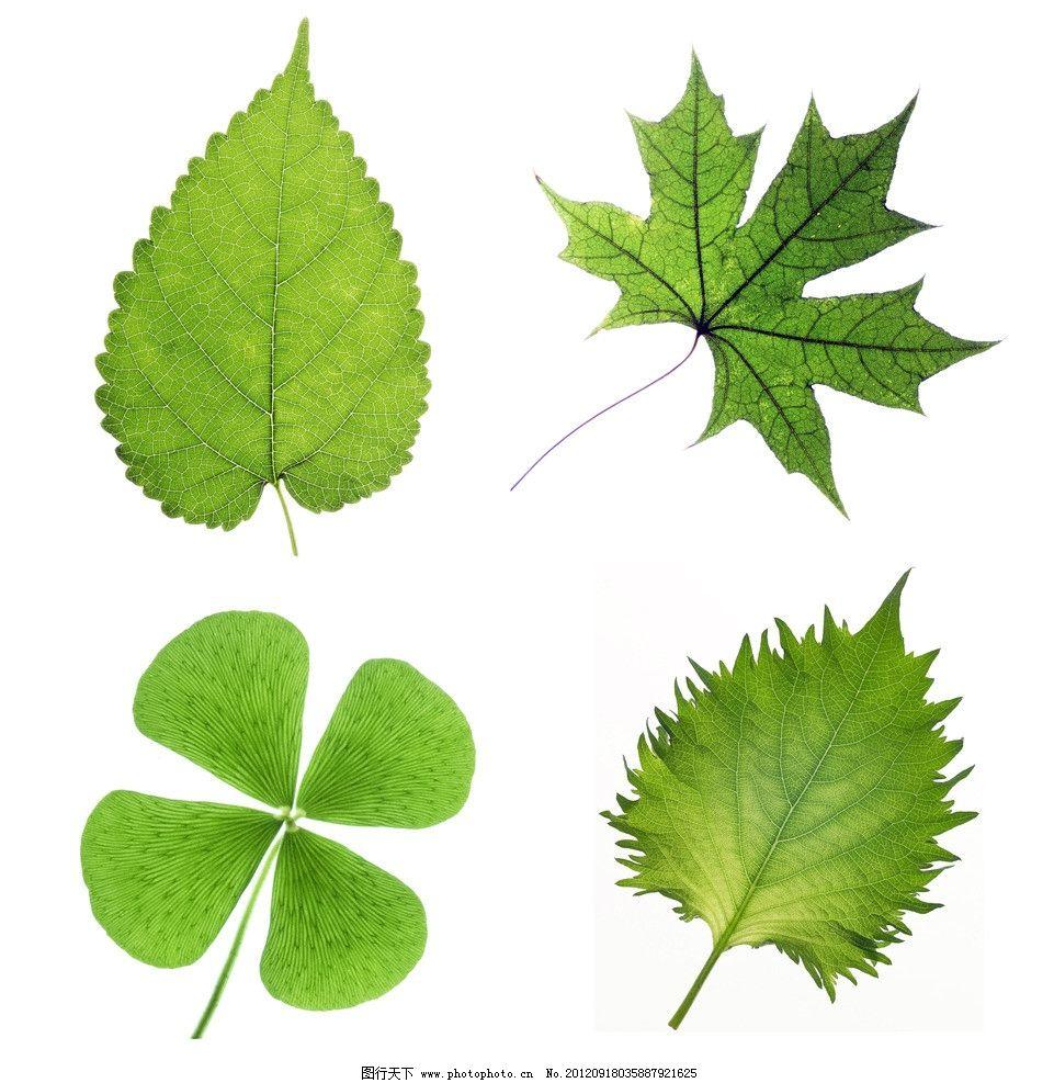 绿树叶 树叶标本图片