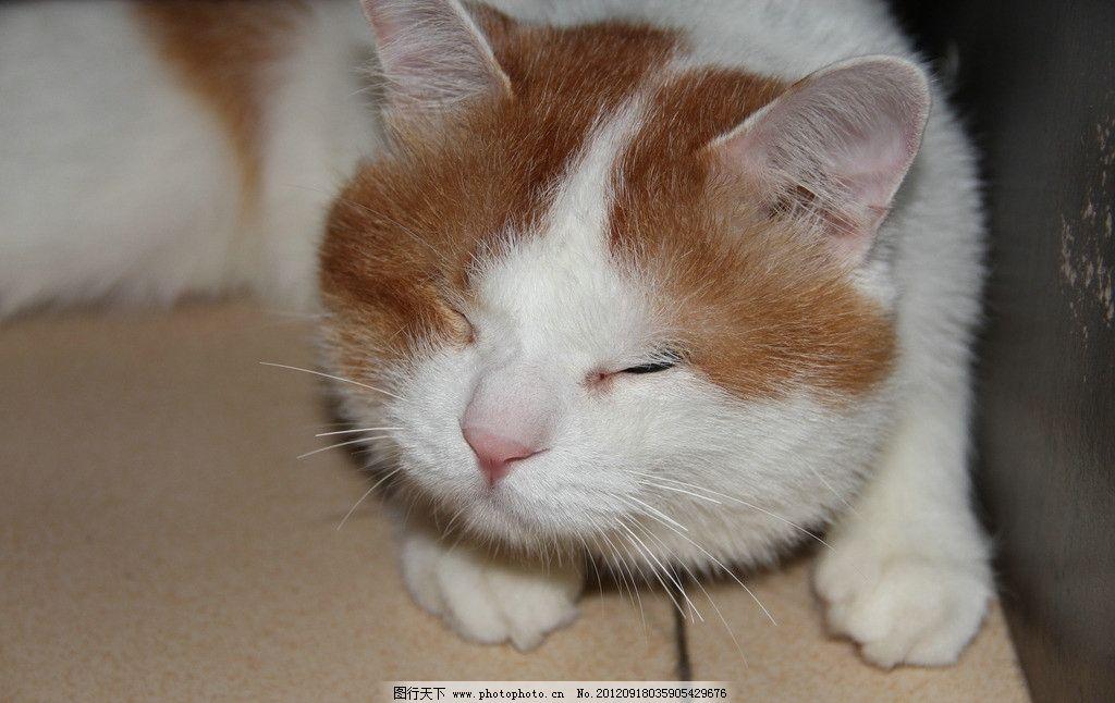猫猫 家猫 可爱猫 乖猫 宠物 黄白 白黄猫 家禽家畜 生物世界 摄影 72