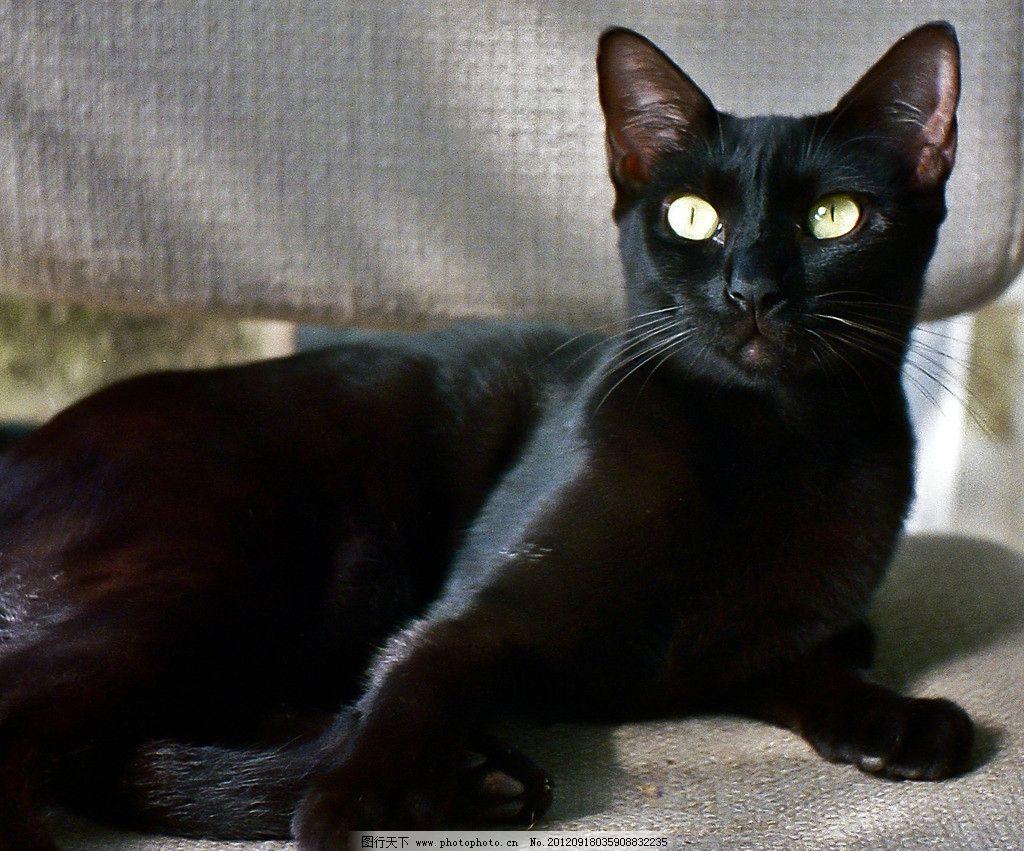 黑猫 可爱 小猫 猫咪 家禽家畜 生物世界 摄影 240dpi jpg
