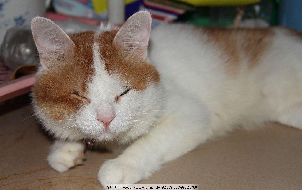 猫猫 家猫 可爱猫 乖猫 宠物 黄白 白黄猫 瞄眼猫 家禽家畜 生物世界