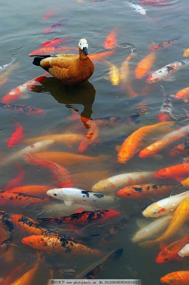 雁鱼图 大雁 锦鲤 动物 鸟类 生物世界 摄影