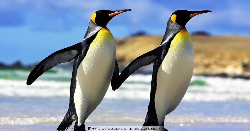 帝企鹅夫妇 企鹅 南极 两只企鹅 可爱动物 鸟类 生物世界 摄影 72dpi