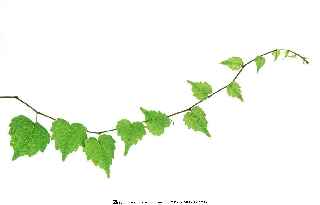 绿叶 藤蔓图片图片