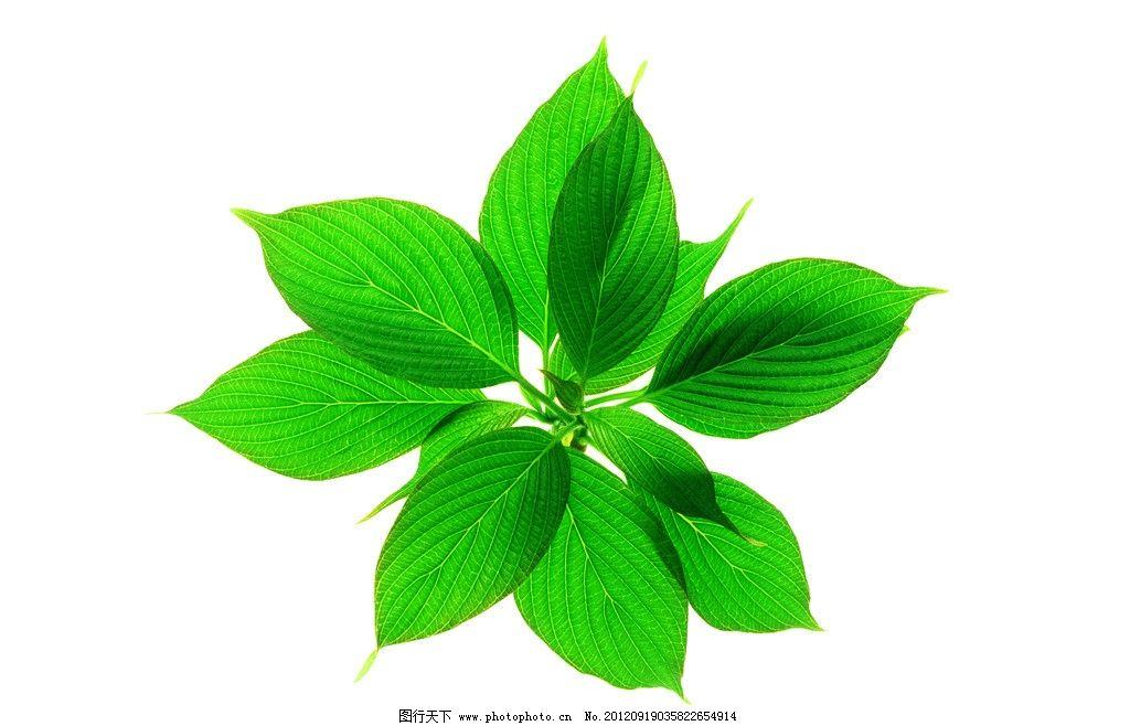 摄影图库 生物世界 树木树叶  绿叶 叶子 树叶 椭圆形叶子 树枝 叶脉图片