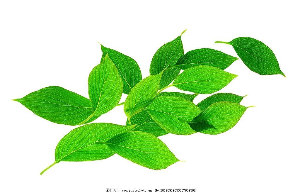 绿叶 叶子 树叶 椭圆形叶子 叶脉 绿色 清新 植物 春天素材 植物世界图片