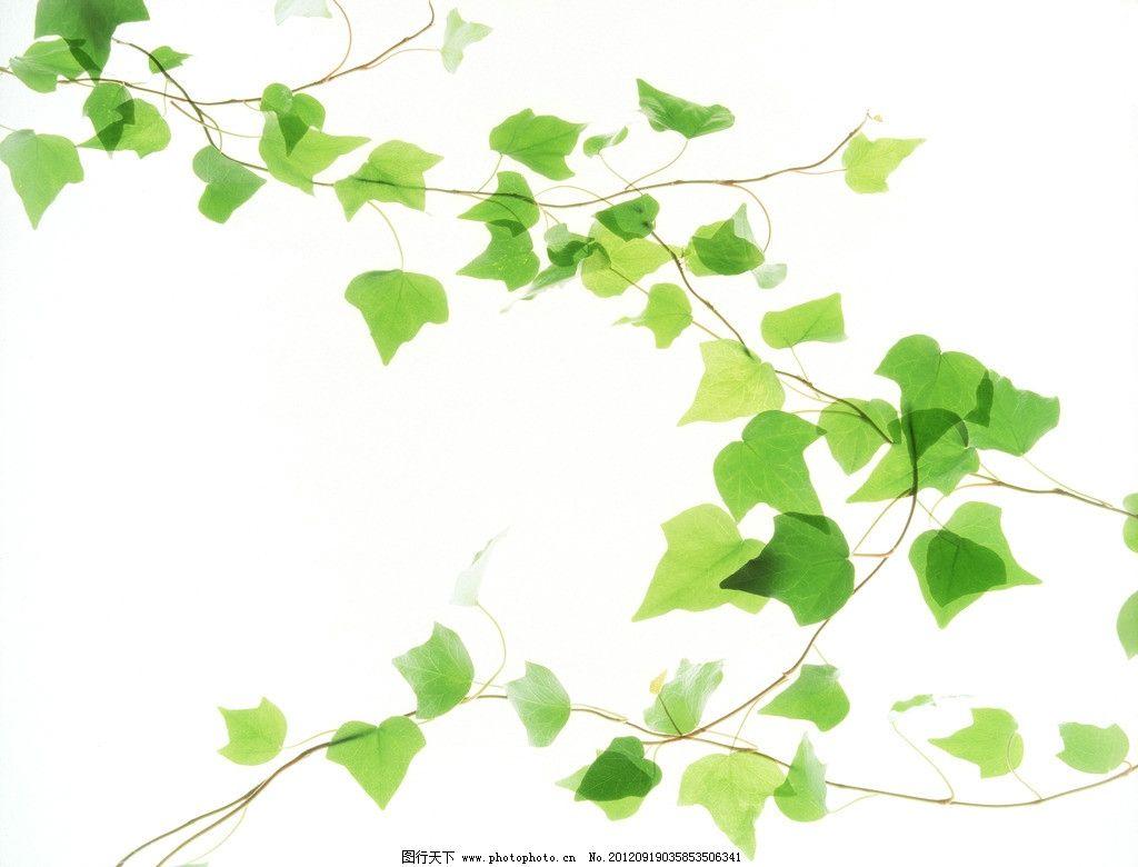 绿叶 藤蔓 叶子 绿色 清新 叶脉 植物 春天素材 植物世界 树木树叶