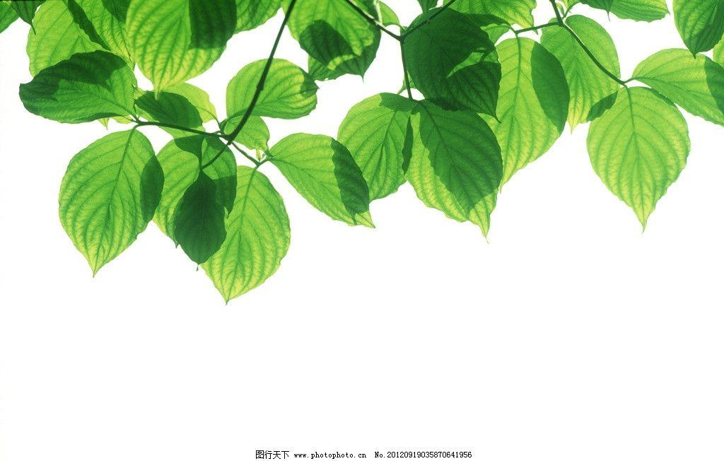 绿叶 树叶 椭圆形叶子 树枝 叶脉 绿色 清新 植物 春天素材 植物世界