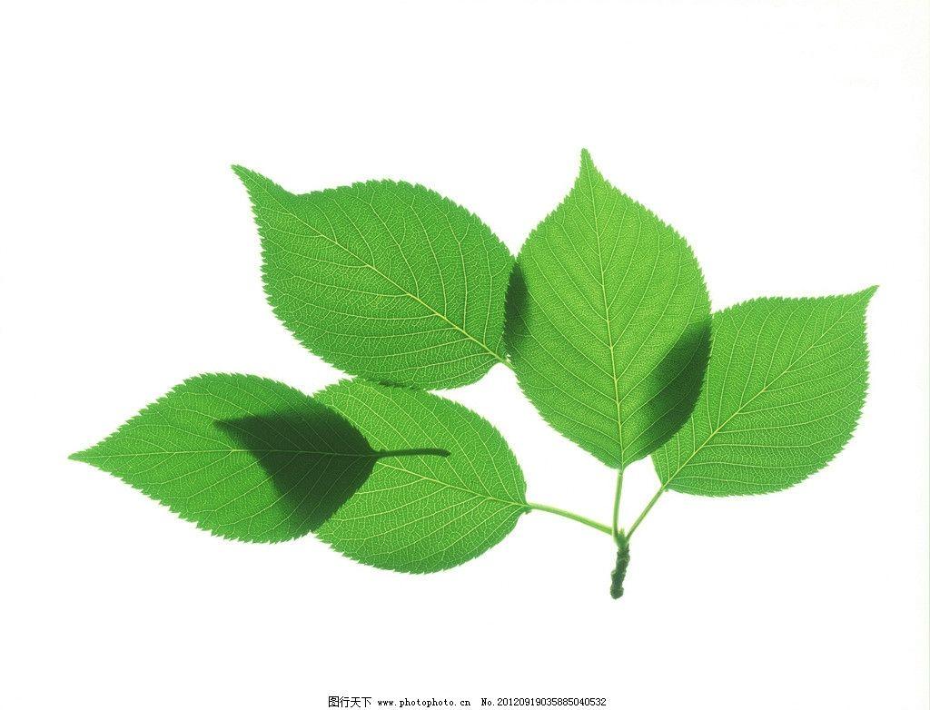 绿叶 叶子 树叶 椭圆形叶子 叶脉 绿色 清新 植物 春天素材 植物世界