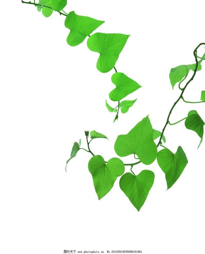 绿叶 藤蔓 叶子 绿色 清新 叶脉 植物 树叶背景 春天素材 植物世界