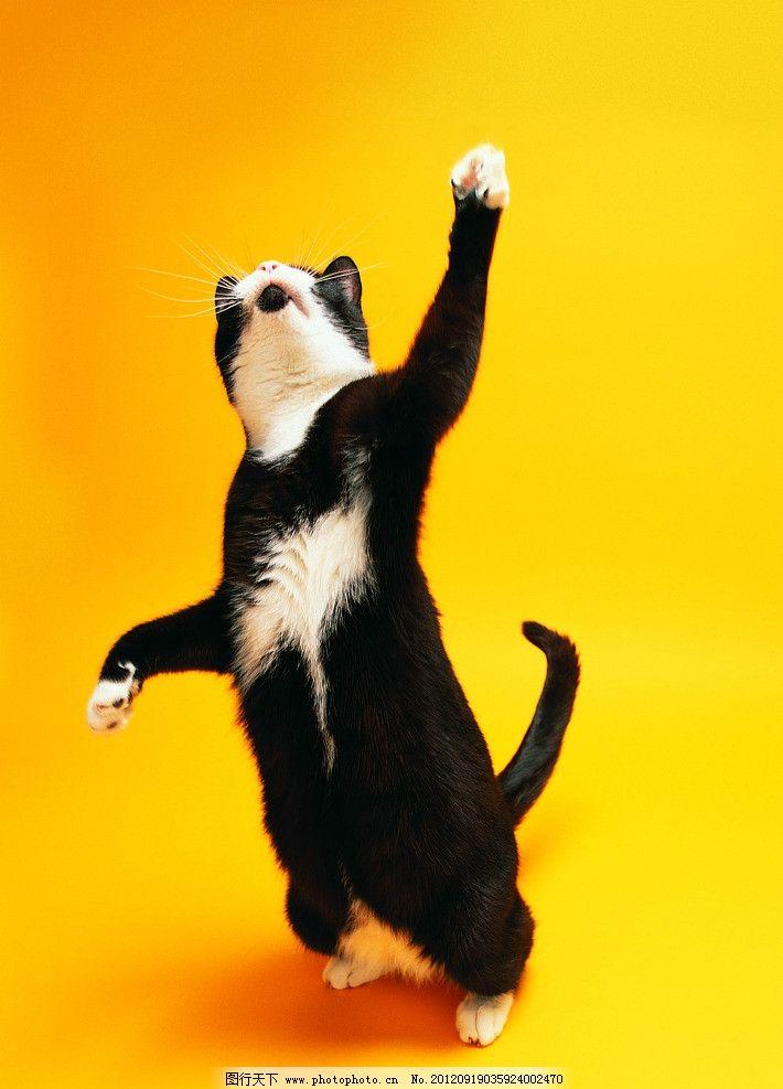 黑白花猫 站立猫 可爱猫咪 家禽家畜 生物世界 摄影 304dpi jpg