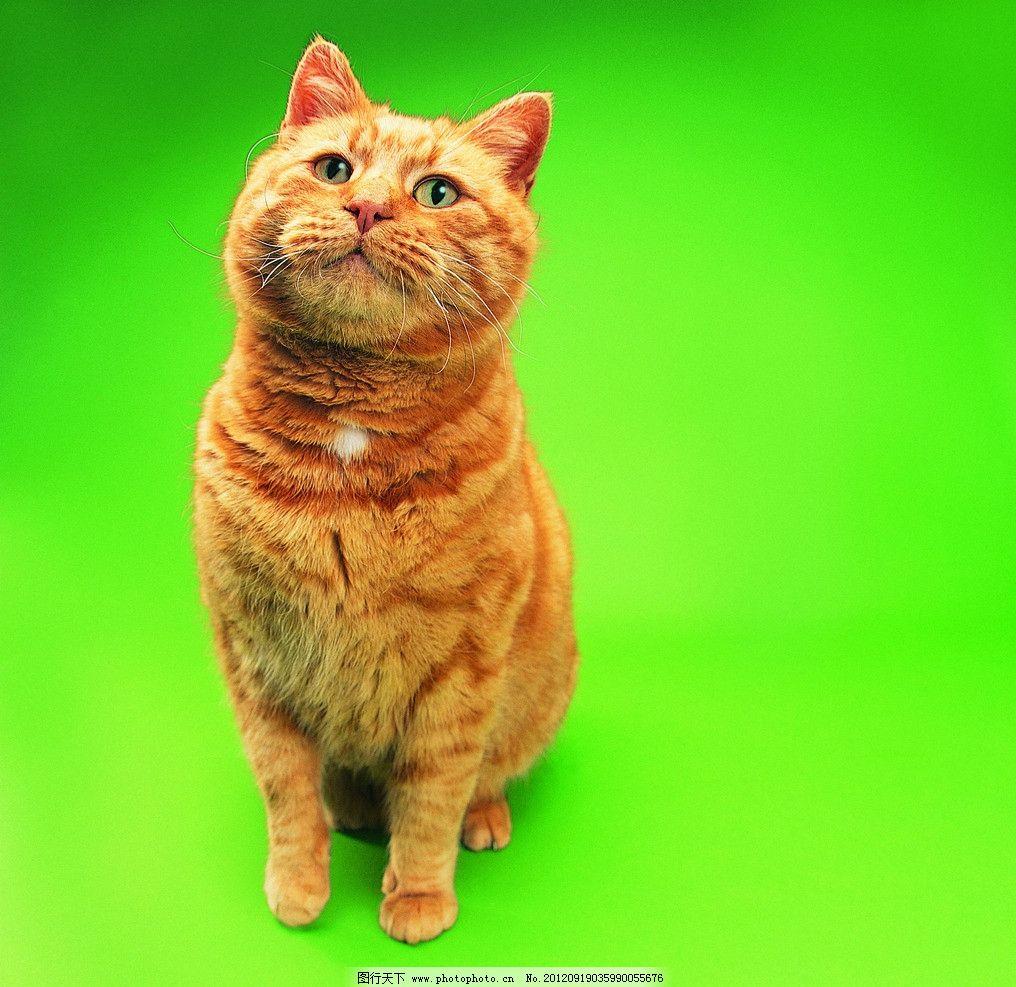 狸猫 宠物猫 可爱猫 可爱猫咪 摄影