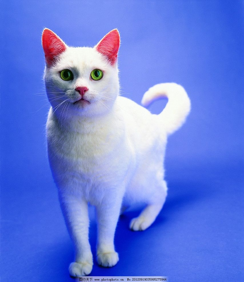 白猫 蓝眼白猫 猫咪 宠物猫