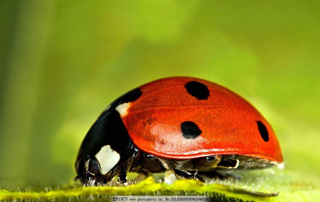瓢虫 动物图片 昆虫摄影 昆虫图片 瓢虫科 甲虫 瓢虫素材 瓢虫图片