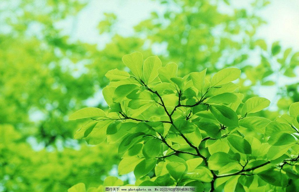 树叶 绿叶 椭圆形叶子 树枝 叶脉 绿色 春天 清新 树叶背景 大自然