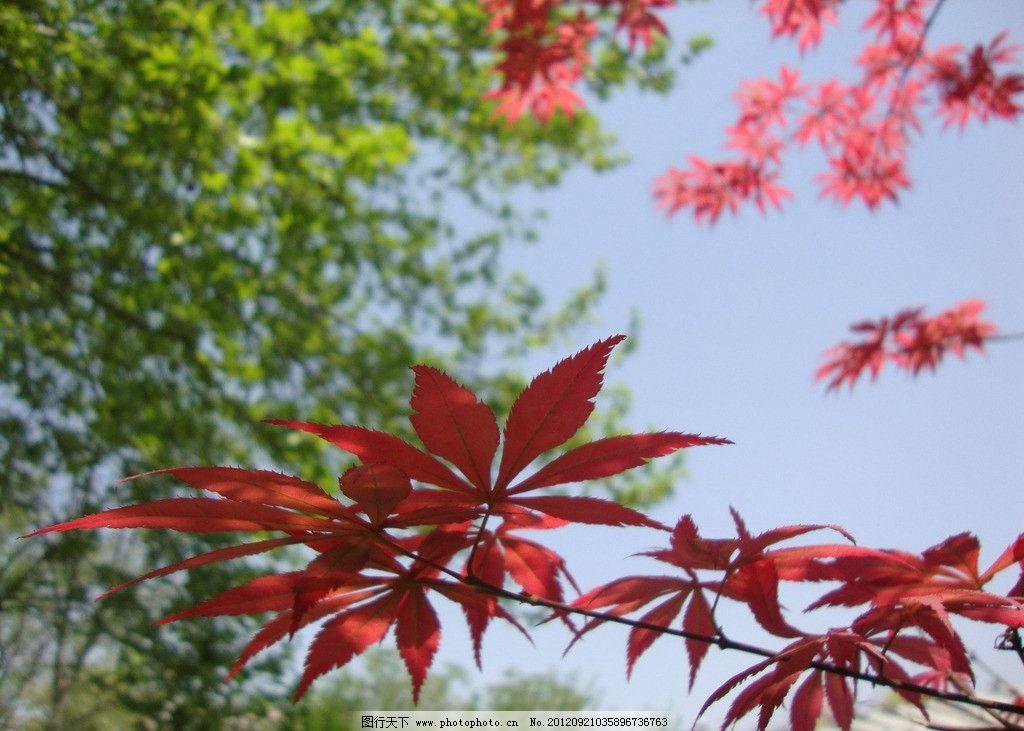 春天红枫 春天 红枫 植物 树木树叶 生物世界 摄影 72dpi jpg