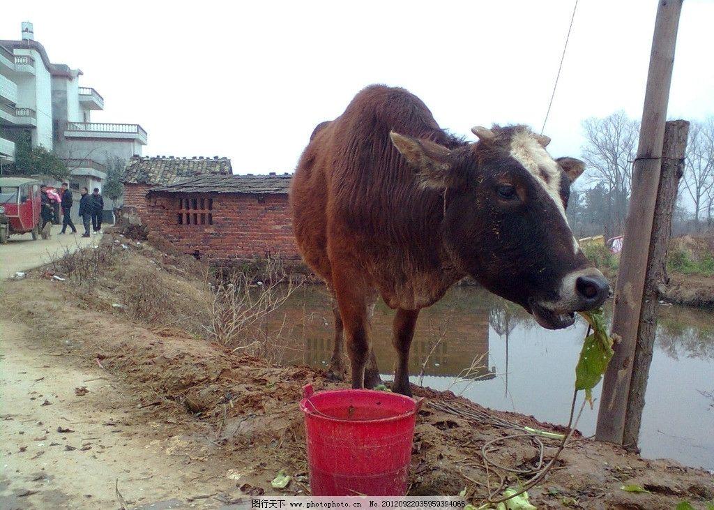 黄牛 动物 家畜 家养动物摄影