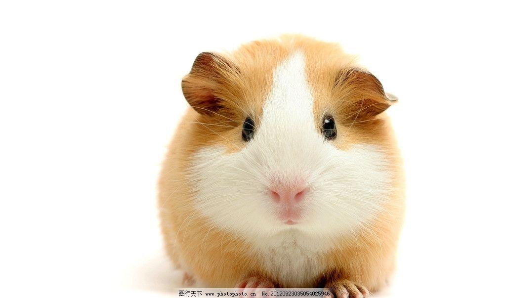 小老鼠 可爱小老鼠 豚鼠 荷兰鼠 宠物 野生动物 生物世界 摄影