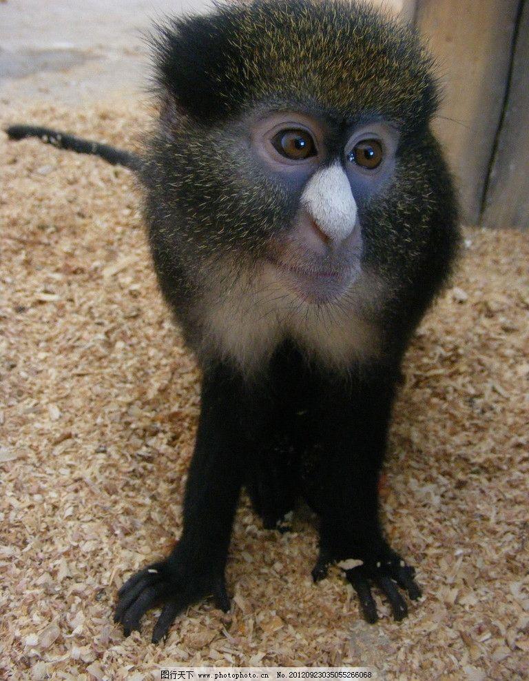 白鼻长尾猴图片图片