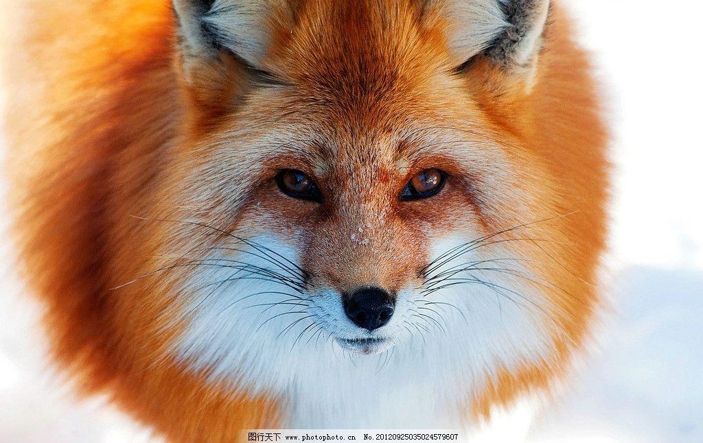 红色狐狸 小狐狸 金狐狸 饲养狐狸 野生动物 生物世界 摄影
