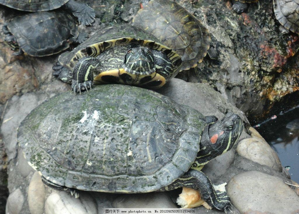 乌龟 素材 公园 动物 海洋 游水 石头 海洋生物 生物世界 摄影 72dpi