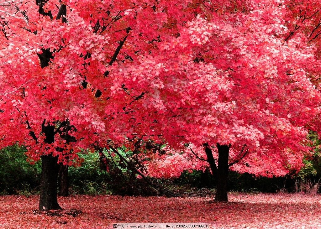 红枫树 摄影 生物 树木