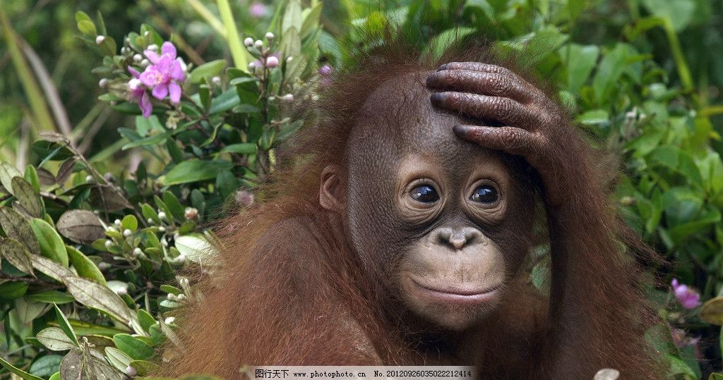 猩猩 动物 植物园 野生 森林 鲜花 脑袋 可爱 卖萌 拍脑袋 野生动物