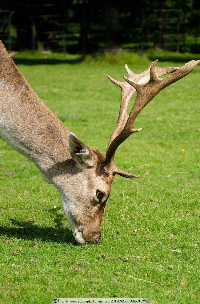 驯鹿 麋鹿 鹿头 野生 野生动物 生物世界 摄影 240dpi jpg
