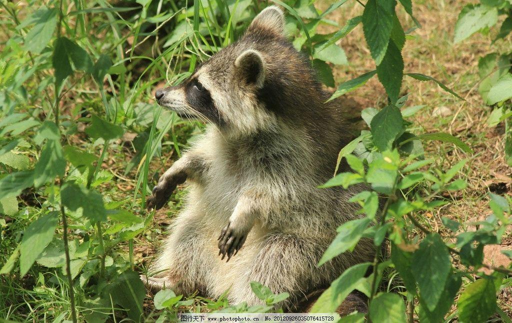 狸猫 野生动物 生物世界 摄影 72dpi jpg