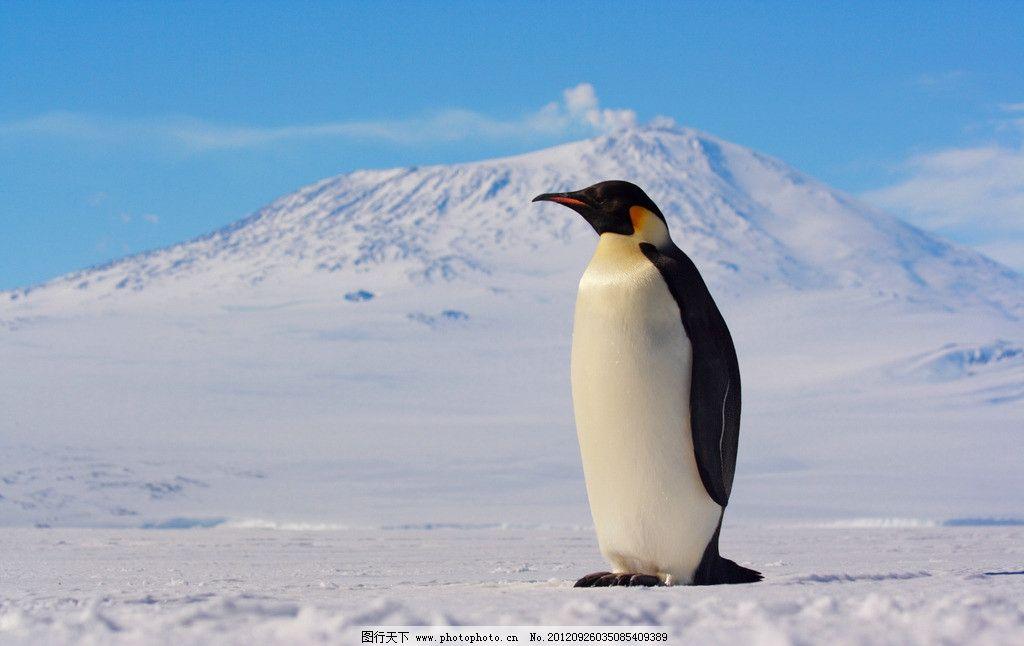企鹅 动物摄影 南极企鹅 帝企鹅 企鹅素材 野生动物 生物世界 摄影