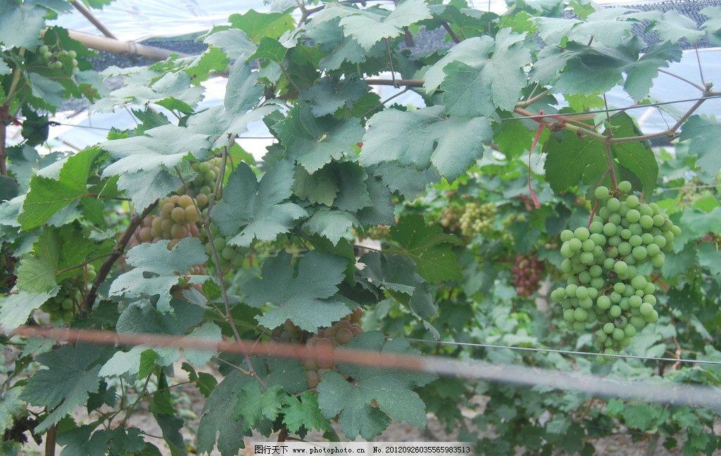 葡萄树图片 葡萄 葡萄树枝 树叶 葡萄叶子 水果 葡萄树 生物世界 摄影