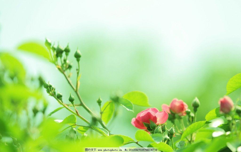 手心的蔷薇歌词简谱